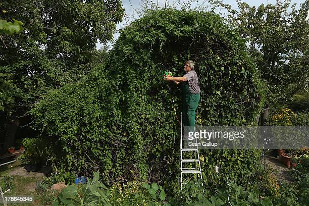 Mario trims ivy that completely covers the cottage in the garden he and his wife Monika have leased for the last 30 years in the Oeynhausen Small...