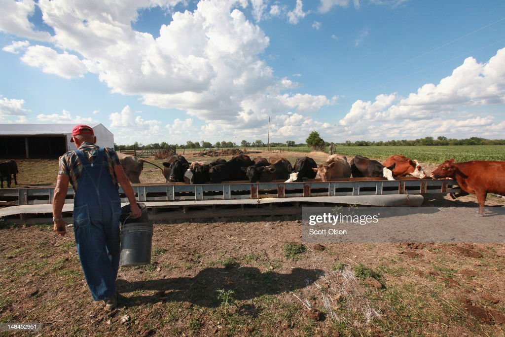 Marion Kujawa feeds corn to his cattle on July 16, 2012 near Ashley, Illinois. Many farmers in the Midwest have been selling off their cattle because of the lack of available or the high price of hay and corn in the drought-stricken region. According to the Illinois Farm Bureau the state is experiencing the sixth driest year on record.