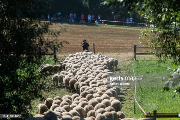 Marion Stabi participant of the competitive herding competition of the State Sheep Breeding Association of BadenWuerttemberg walks in a field in...