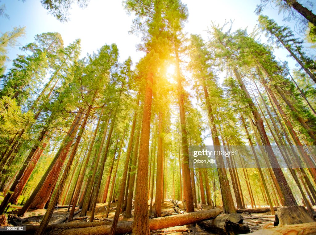 Mariposa Grove trees in Yosemite National Park : Stock Photo