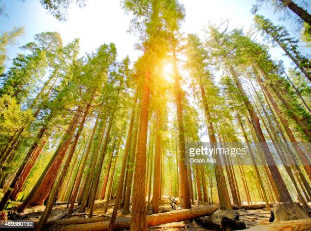 mariposa grove trees in yosemite national park - national landmark stock pictures, royalty-free photos & images