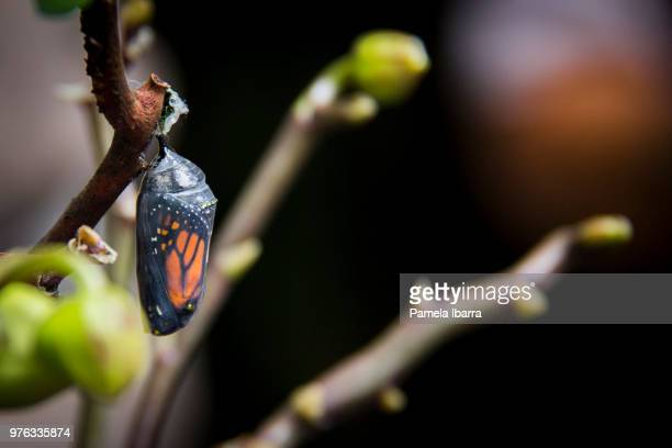 mariposa monarca - cocoon stock pictures, royalty-free photos & images
