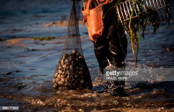 "Mariscadora"" walks out of the water after collecting clams at the Vigo bay in Arcade, some 20 km from Vigo, on December 20, 2017. ""Marisqueo""..."