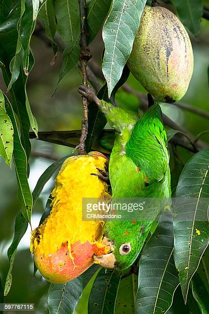 maritaca eating mangoes. - crmacedonio stock photos and pictures