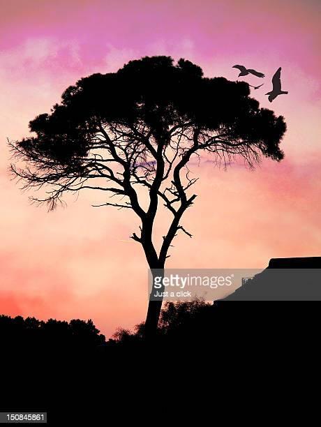 maritime pine tree at sunset - ベレク ストックフォトと画像