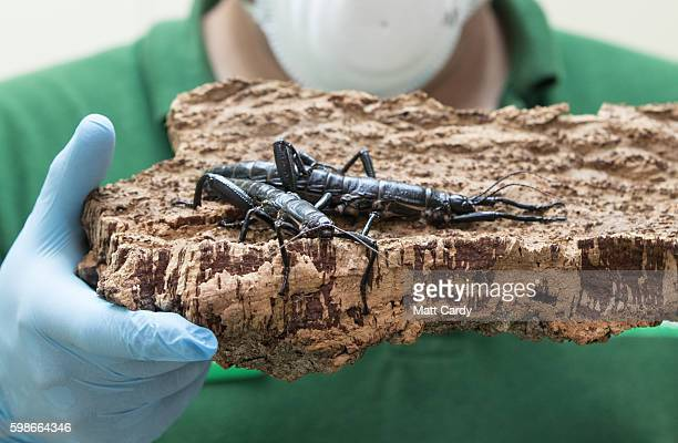 Mark Bushell Curator of Invertebrates at Bristol Zoo holds up a pair of critically endangered Lord Howe Island stick insects one of the world's...