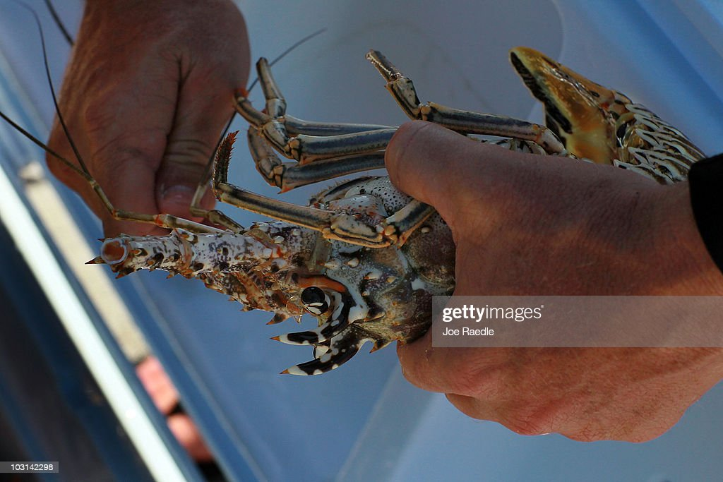 Florida's Recreational 2-Day Lobster Season Begins