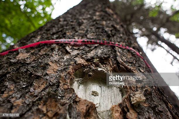 A mark is seen on a pine tree infested by mountain pine beetles after a sample was taken for research purposes in a forest near Whitecourt Alberta...