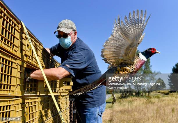 Mark Weiss, the Game Lands Maintenance Supervisor watches as a male Ring-Necked Pheasant flies out of the crate it was in on the truck. The...