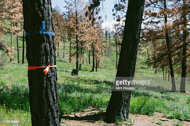 marked trees for cutting in fire damaged national forest (from the 2012 table mountain fire), near blewett pass, okanogan-wenatchee national forest, usa - 2012 2013年 キプロス財政危機 stock pictures, royalty-free photos & images