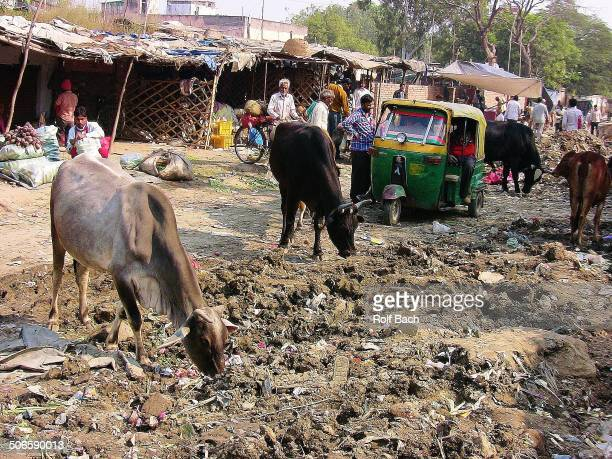 CONTENT] Market scene Holy Cows between piles of rubbish in Agra