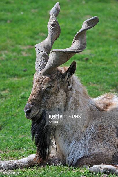 Markhor a wild goat native to Pakistan and Afghanistan