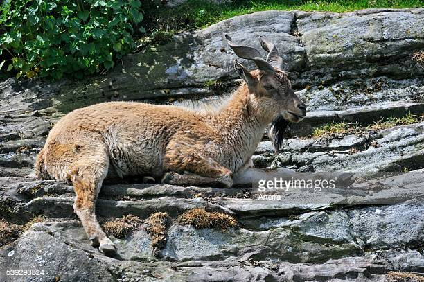 Markhor a wild goat native to Pakistan and Afghanistan resting on rock ledge