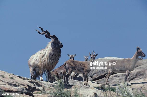 markhor, asia - markhor stock photos and pictures