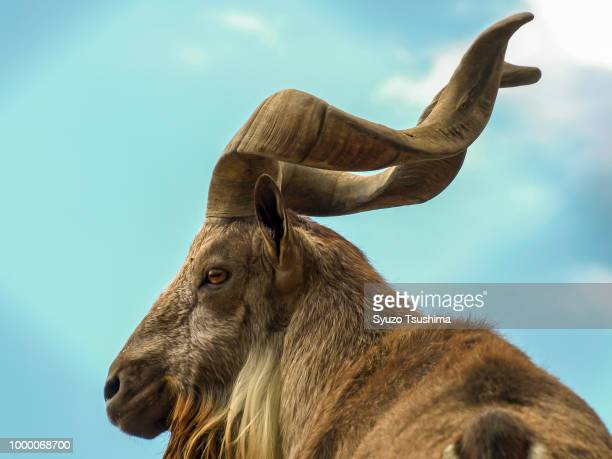 markhor - markhor stock photos and pictures