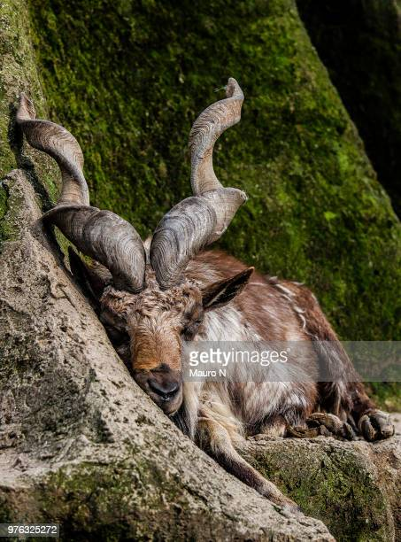 markhor (capra falconeri) sleeping at cliff - markhor stock photos and pictures