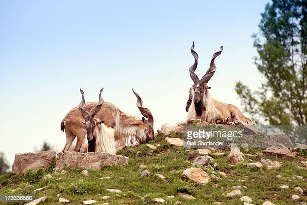 markhor's cork - markhor stock photos and pictures