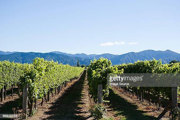 marlborough, vinyards near blenheim - marlborough new zealand stock pictures, royalty-free photos & images