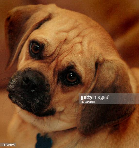 Marley<CQ> is a hot new designer breed, the puggle, which is a cross between a pug and a beagle. RJ Sangosti/ The Denver Post