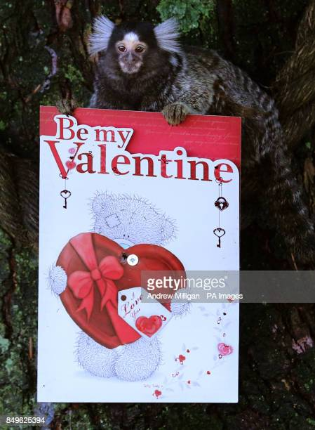 A Marmoset looks at a Valentine's Day card at Blair Drummond Safari Park near Stirling
