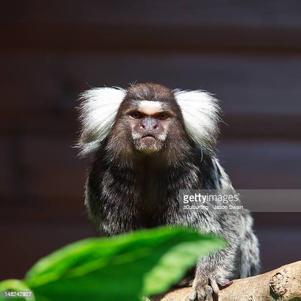 marmoset on tree - s0ulsurfing photos et images de collection