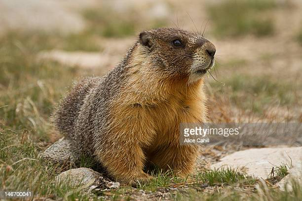 marmot eating grass - woodchuck stock pictures, royalty-free photos & images
