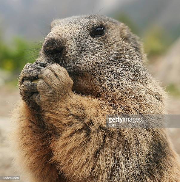marmot eating - woodchuck stock pictures, royalty-free photos & images