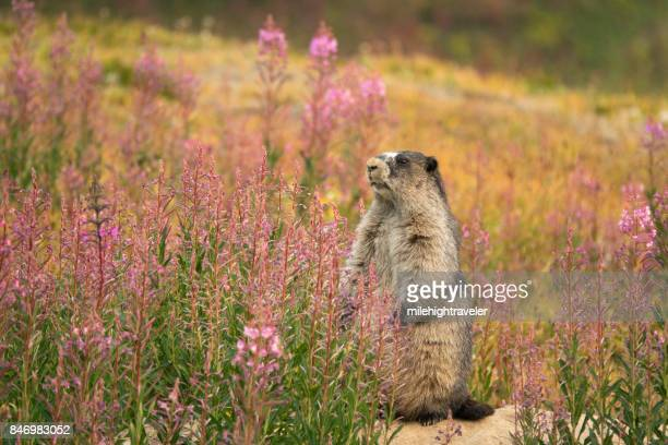 marmot fireweed tonquin valley jasper national park alberta canada - woodchuck stock pictures, royalty-free photos & images
