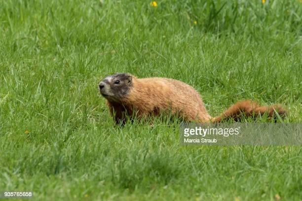 marmot in a field - woodchuck stockfoto's en -beelden
