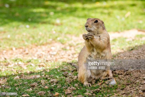 a marmot in a hole looking curiously - funny groundhog stock pictures, royalty-free photos & images