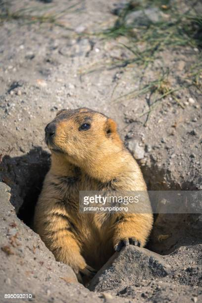 marmot in a hole - funny groundhog stock photos and pictures
