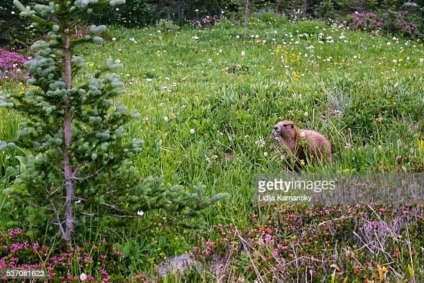 marmot in meadow - marmota imagens e fotografias de stock