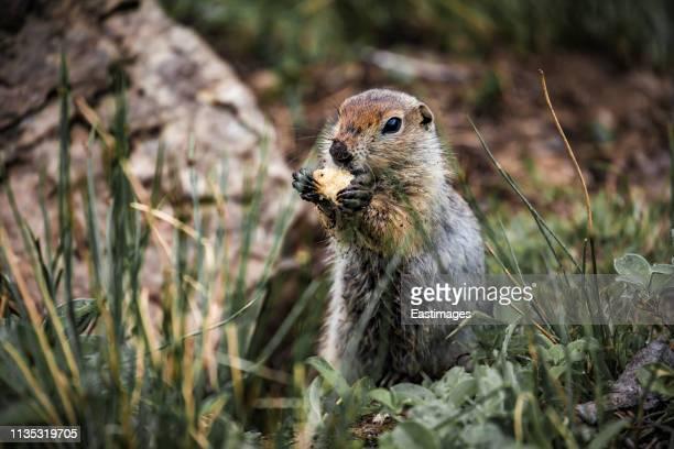marmot in nature,russia. - woodchuck stockfoto's en -beelden