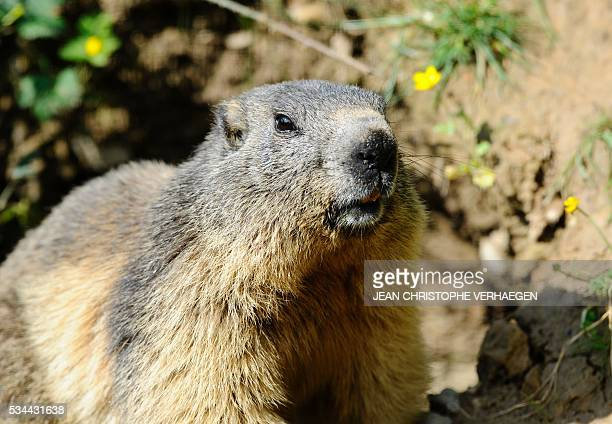 A marmot is pictured at the Animal Park of SainteCroix in Rhodes eastern France on May 25 2016 / AFP / Jean Christophe VERHAEGEN