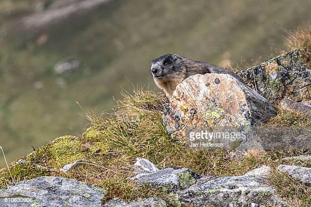 A marmot is seen near the Grossglockner high alpine road on September 23 near Heiligenblut Austria The Grossglockner high alpine road is the highest...
