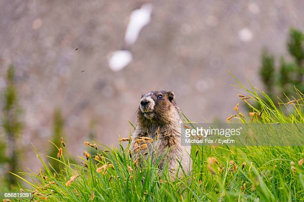 marmot looking away on grassy field - woodchuck stock pictures, royalty-free photos & images