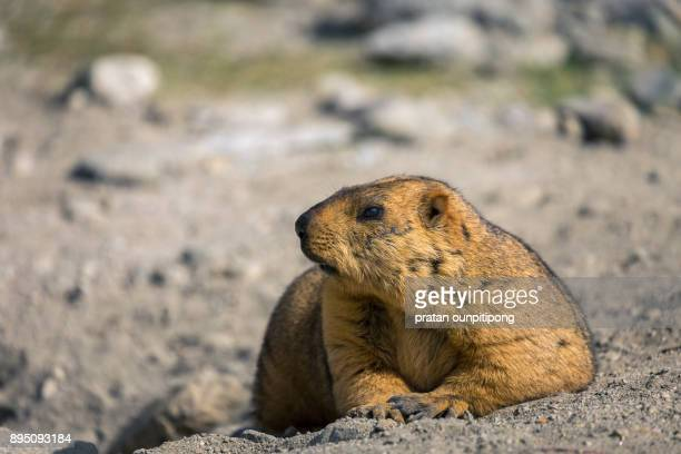 marmot on dirt ground - funny groundhog stock photos and pictures
