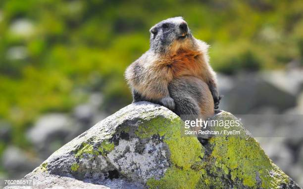 marmot on rock during sunny day - woodchuck stock pictures, royalty-free photos & images