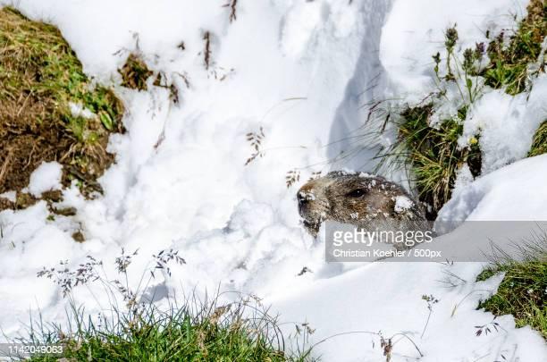 marmot - 冬眠 ストックフォトと画像