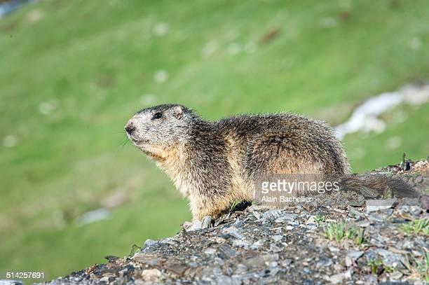 marmot - woodchuck stockfoto's en -beelden