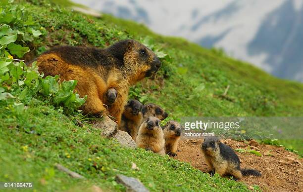 marmot - markhor stock photos and pictures