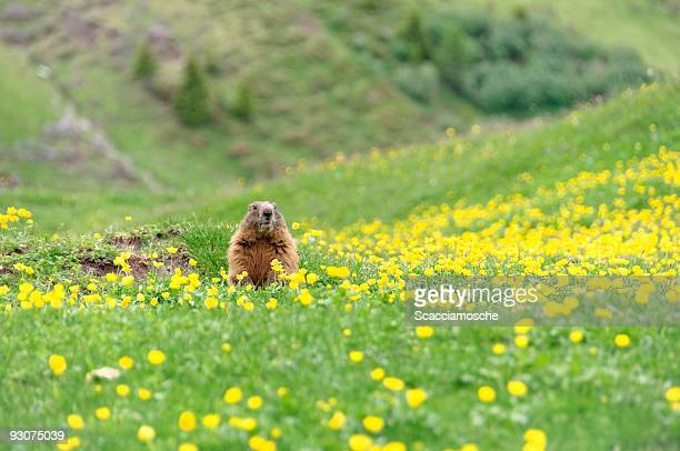 marmot - woodchuck stock pictures, royalty-free photos & images