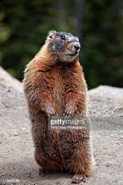 marmot rearing up on hind legs in yellowstone - woodchuck stock pictures, royalty-free photos & images
