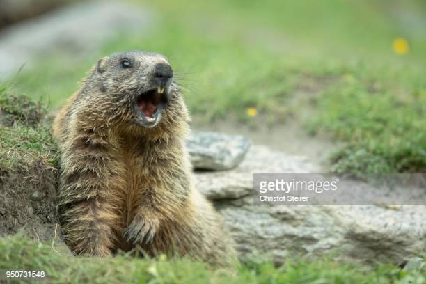 marmot (marmota), stubai valley, tyrol, austria - marmota imagens e fotografias de stock