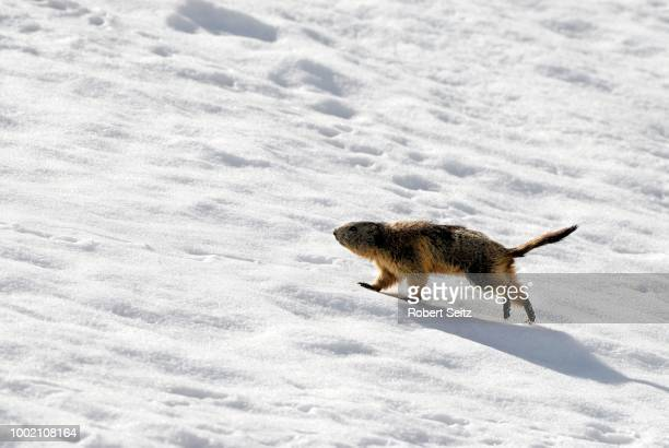 marmot (marmota) walking through snow, elmen, lechtal valley, tirol, austria - vista lateral stock pictures, royalty-free photos & images