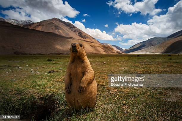 marmots at pangong lake - woodchuck stock pictures, royalty-free photos & images