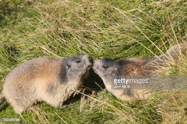 marmots kissing - funny groundhog stock photos and pictures