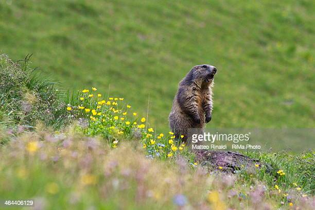marmotta sentinella - woodchuck stock pictures, royalty-free photos & images
