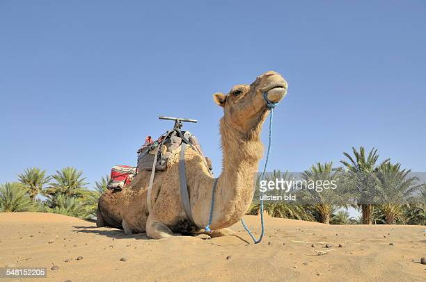 Marocco camel trekking in the Erg Chebbi desert dromedar