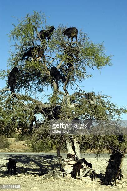 Ziegen klettern hoch in die Aeste eines Arganbaumes und stillen ihren Durst mit den wasserhaltigen Blaettern
